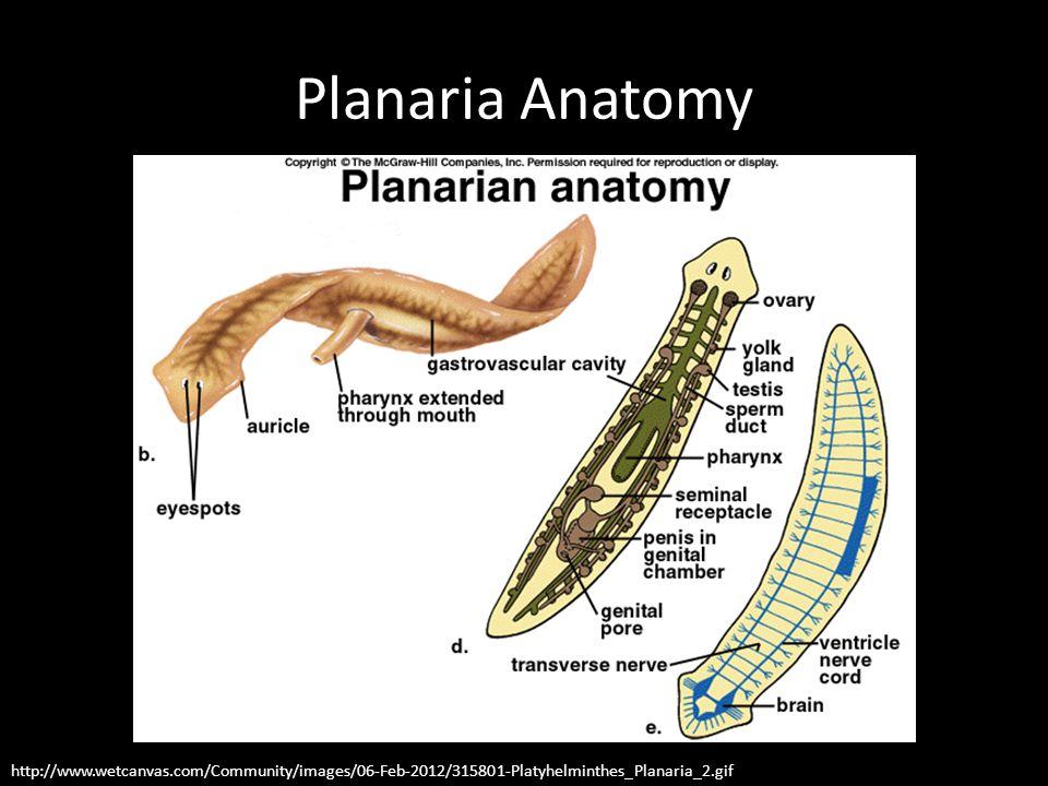 Planaria Regeneration Activity Information Heads will…roll? - ppt ...