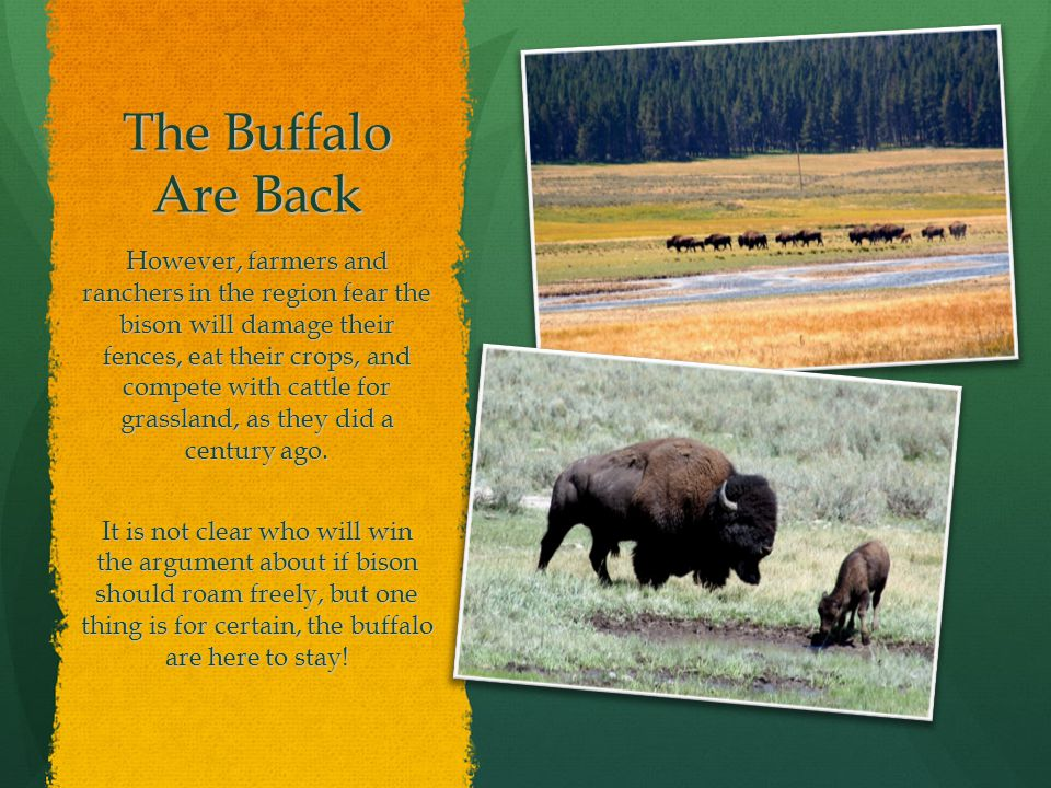 cc220a8ef07 8 The Buffalo Are Back However, farmers and ranchers in the region fear the  bison will damage their fences, eat their crops, and compete with cattle  for ...