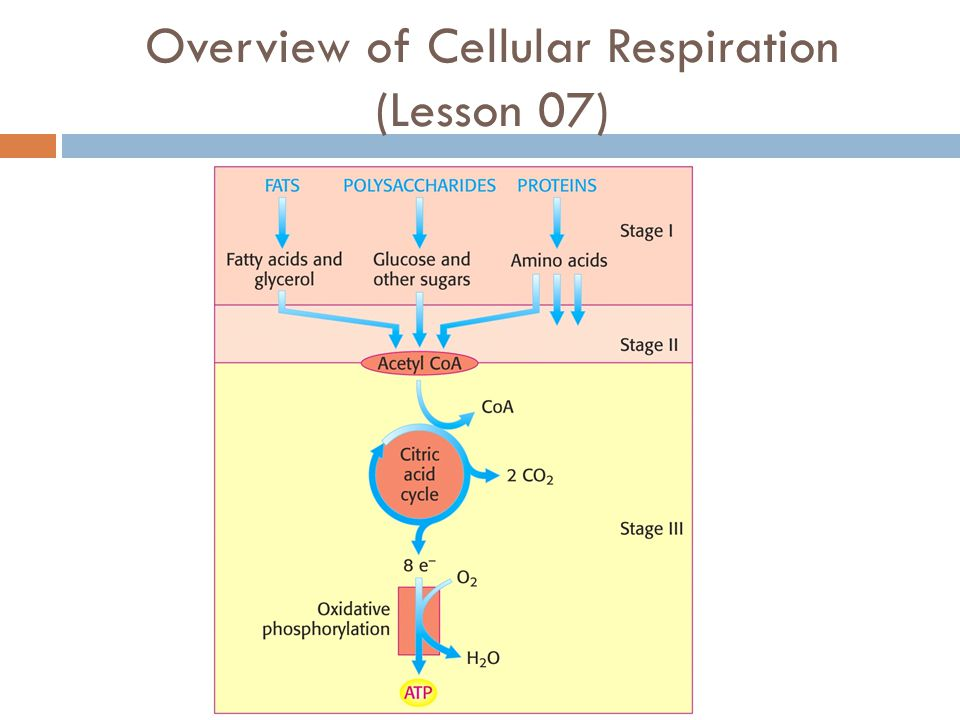 Overview of Cellular Respiration (Lesson 07)