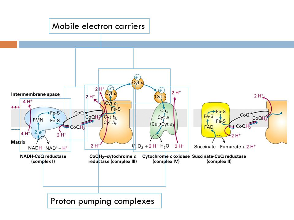 Mobile electron carriers Proton pumping complexes
