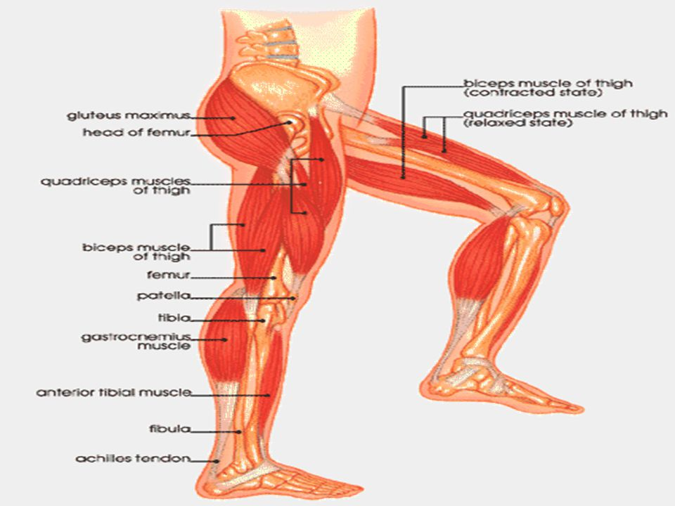 Muscles Are Bundles Of Cells And Fibers Muscles Work In A Very