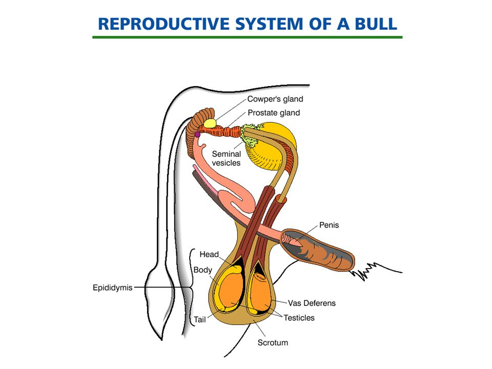 Bull The Reproductive System Diagram - DIY Enthusiasts Wiring Diagrams •
