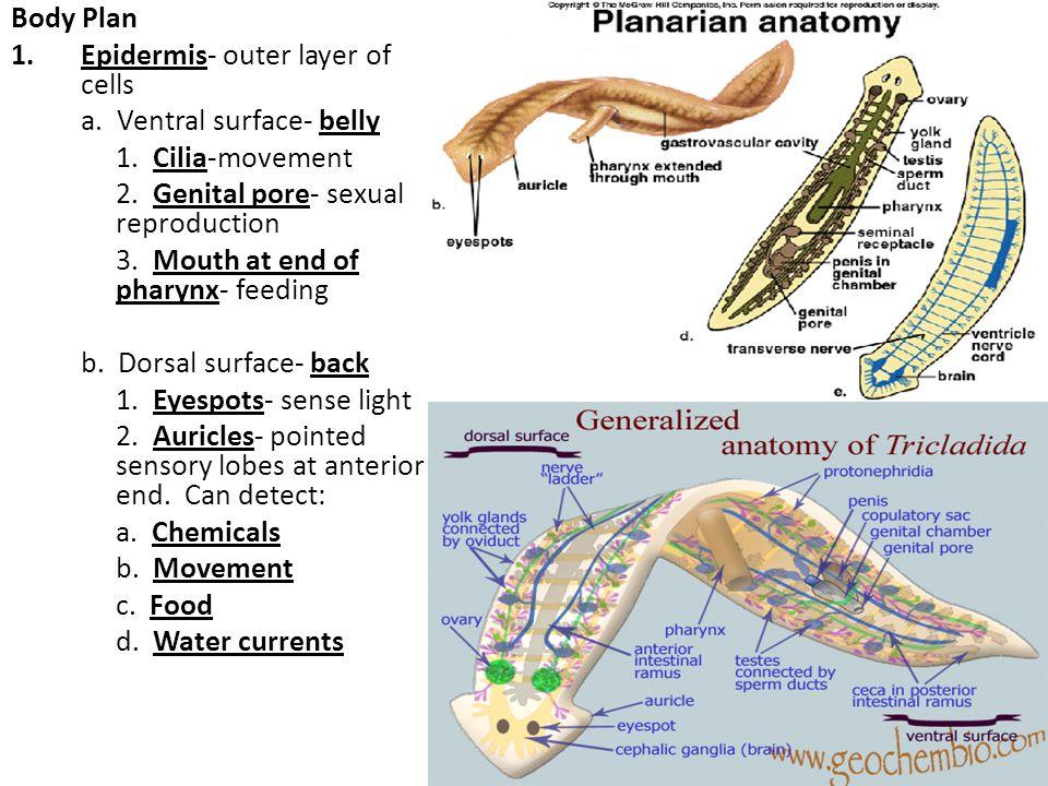 Flatworm Diagram Ventral Block And Schematic Diagrams