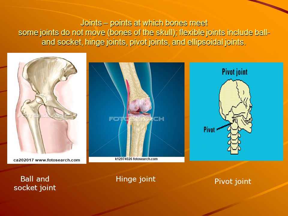 Joints – points at which bones meet some joints do not move (bones of the skull); flexible joints include ball- and socket, hinge joints, pivot joints, and ellipsoidal joints.