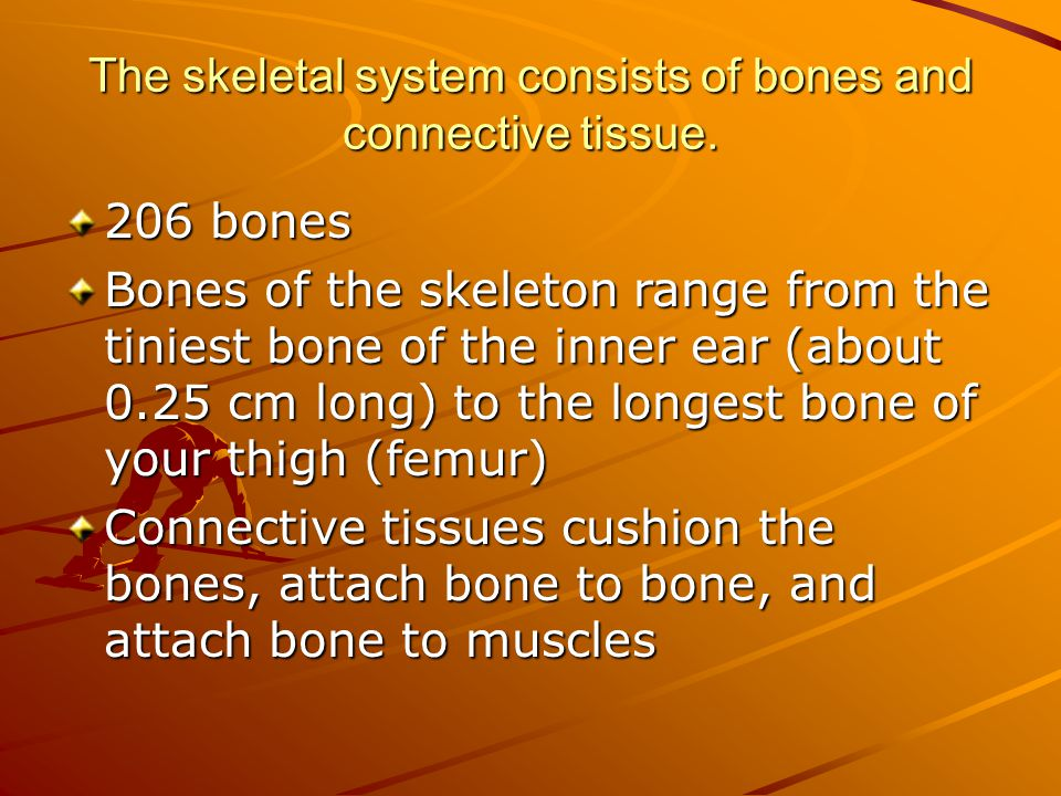 The skeletal system consists of bones and connective tissue.