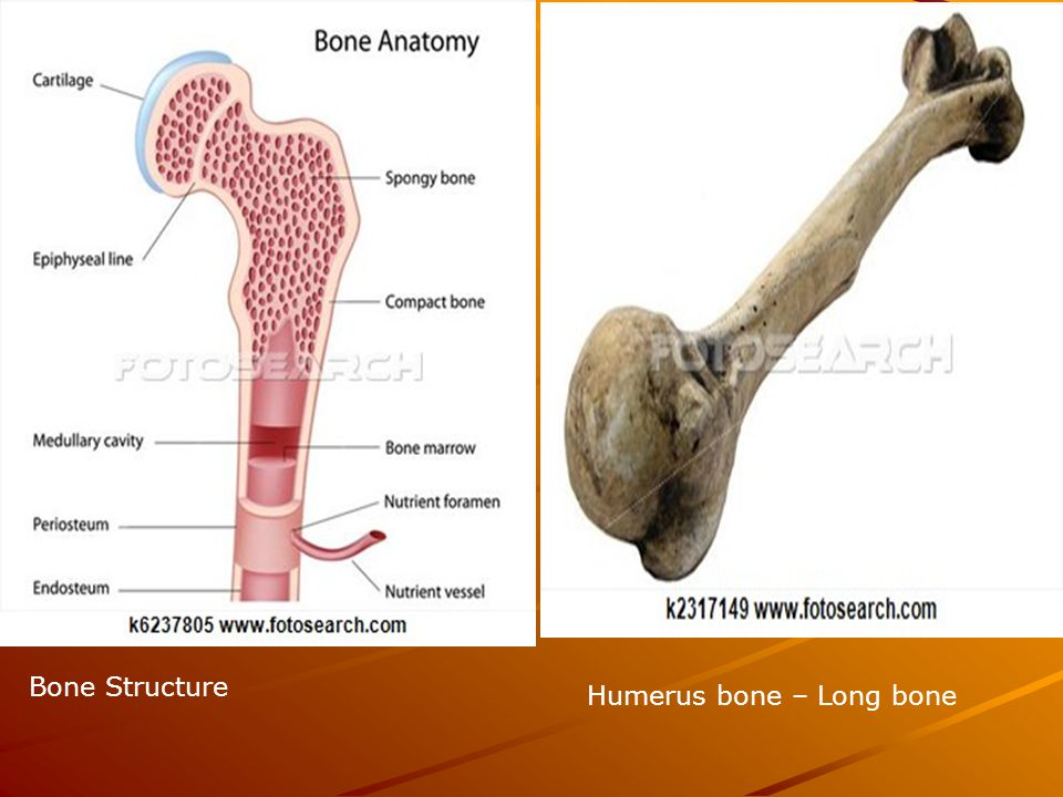 Bone Structure Humerus bone – Long bone