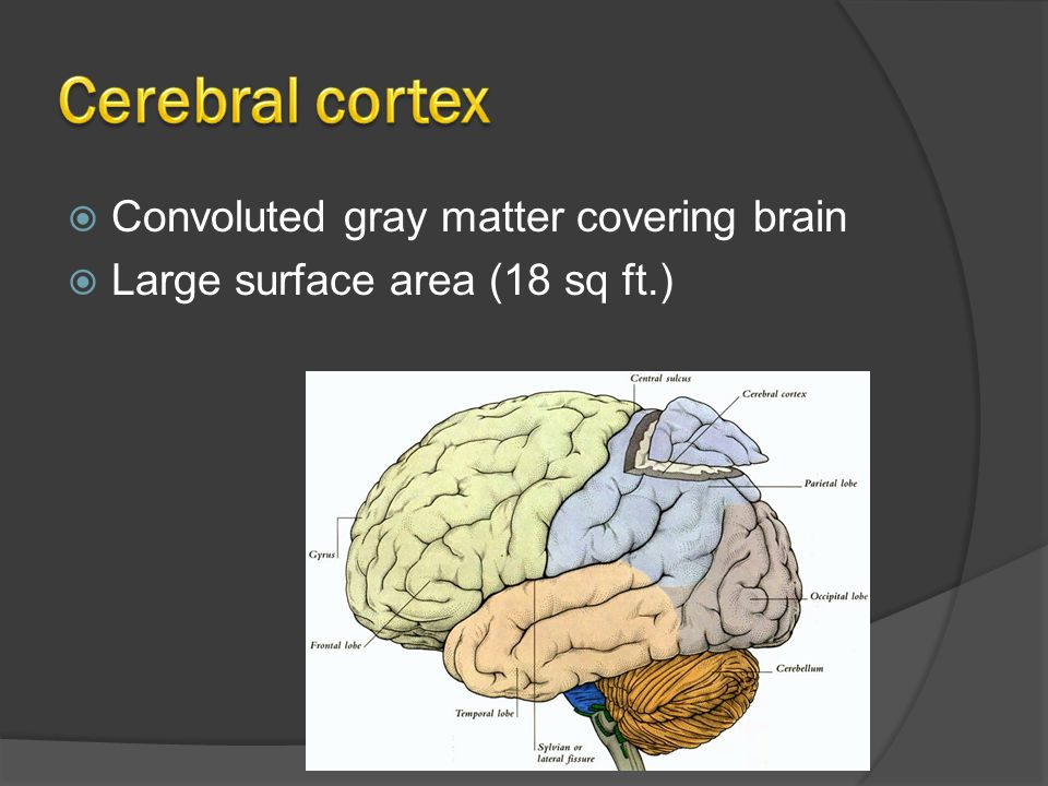  Convoluted gray matter covering brain  Large surface area (18 sq ft.)