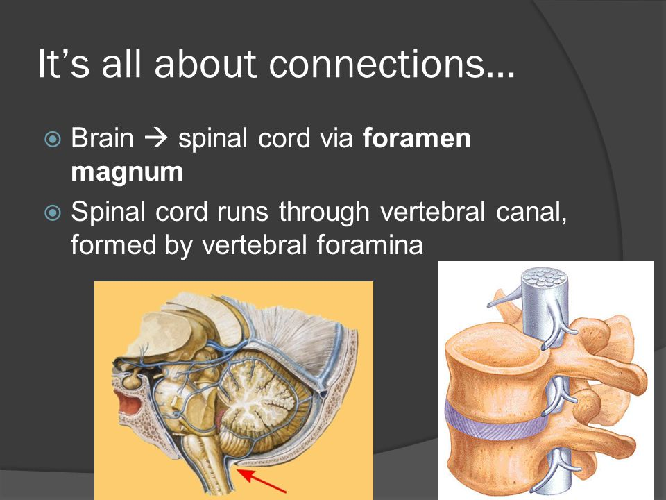 It's all about connections…  Brain  spinal cord via foramen magnum  Spinal cord runs through vertebral canal, formed by vertebral foramina