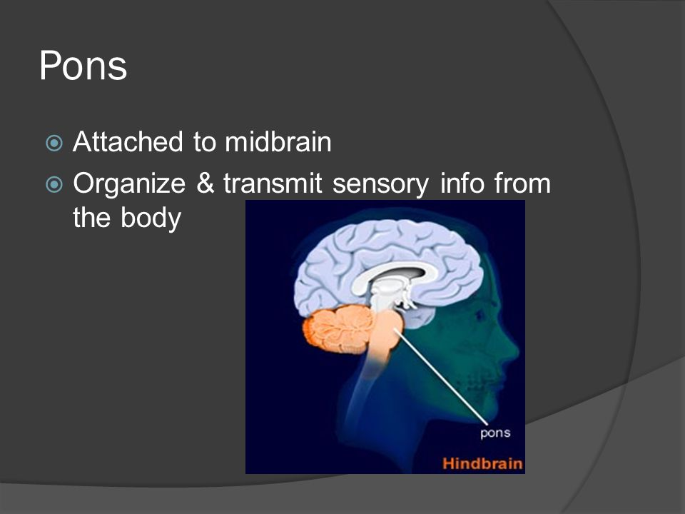 Pons  Attached to midbrain  Organize & transmit sensory info from the body