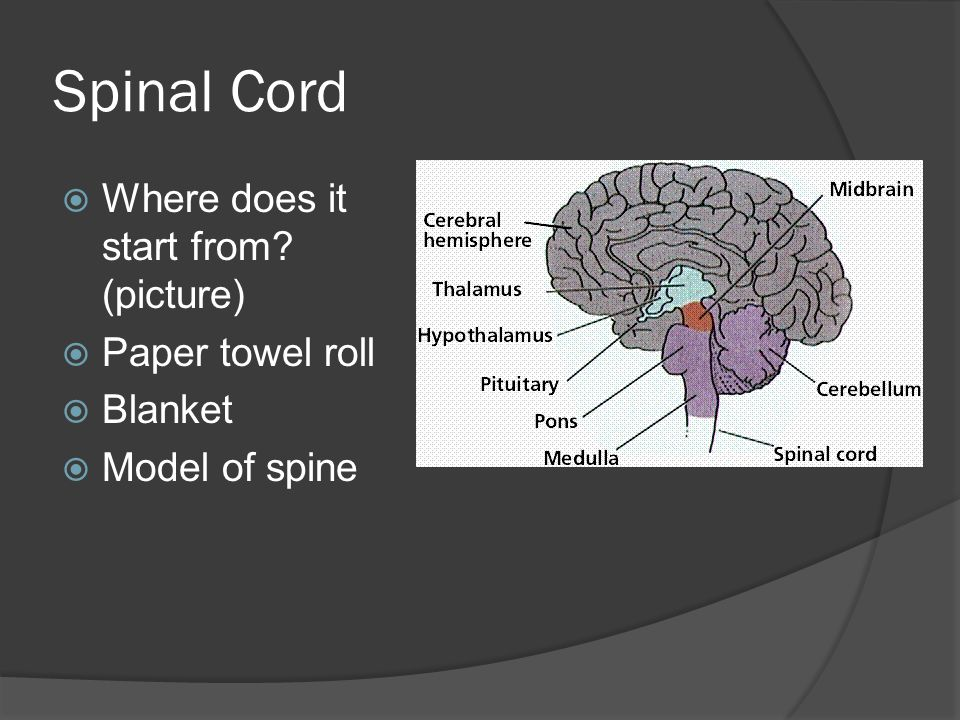Spinal Cord  Where does it start from (picture)  Paper towel roll  Blanket  Model of spine