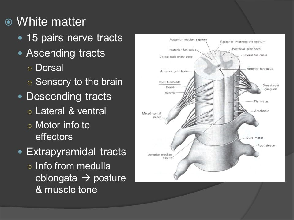  White matter 15 pairs nerve tracts Ascending tracts ○ Dorsal ○ Sensory to the brain Descending tracts ○ Lateral & ventral ○ Motor info to effectors Extrapyramidal tracts ○ Info from medulla oblongata  posture & muscle tone