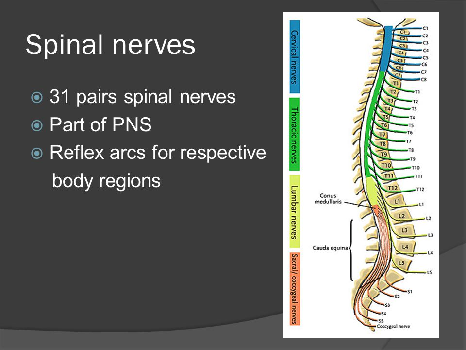 Spinal nerves  31 pairs spinal nerves  Part of PNS  Reflex arcs for respective body regions