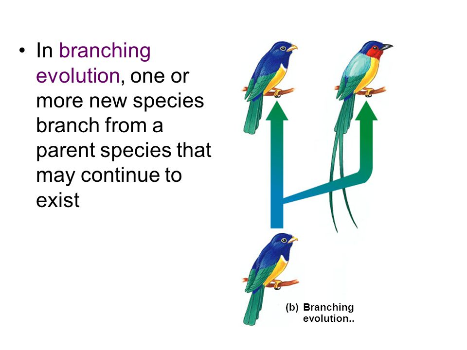 In branching evolution, one or more new species branch from a parent species that may continue to exist (b)Branching evolution..
