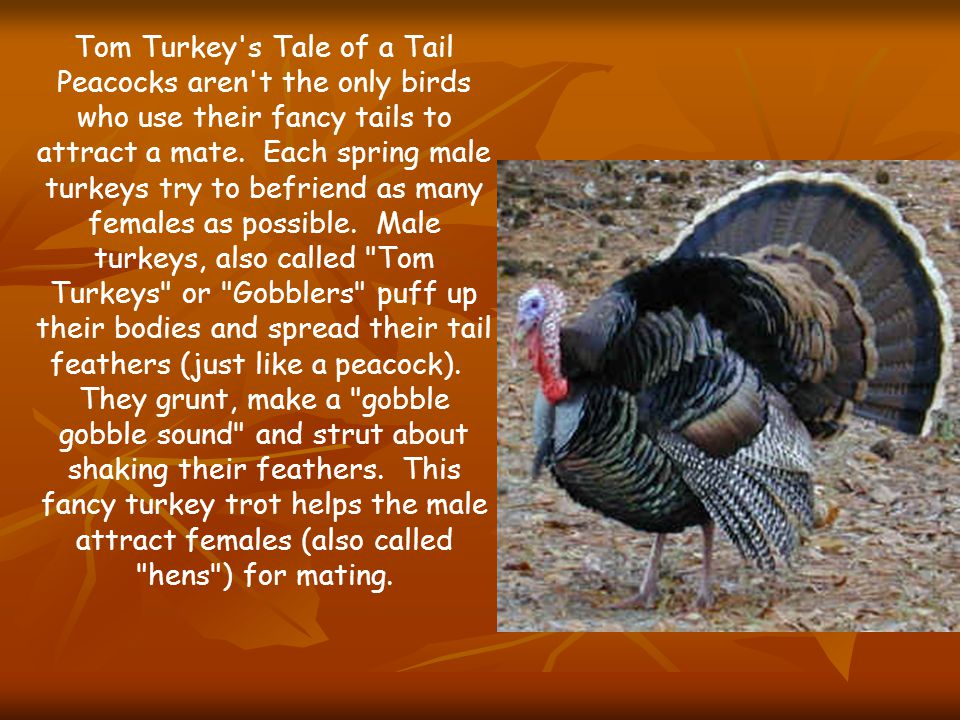 Tom Turkey S Tale Of A Tail Peacocks Aren T The Only Birds Who Use Their