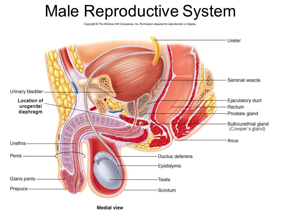 Male Reproductive System Diagram Cowpers Gland Diy Enthusiasts