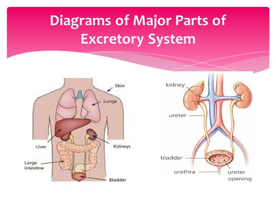 Excretory System By Jessy Gonzalez Alexis Segura Gaby Guzman Mrs