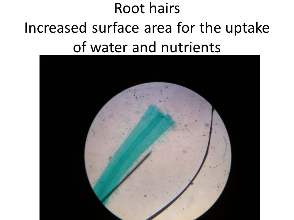 Root hairs Increased surface area for the uptake of water and nutrients