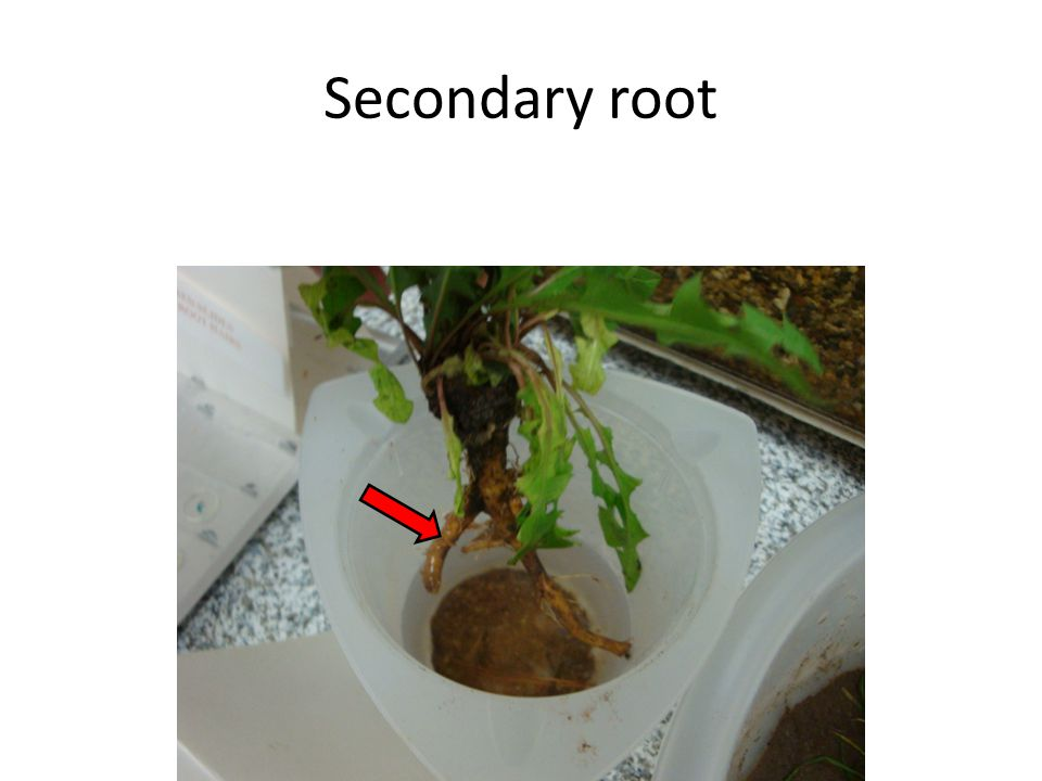 Secondary root
