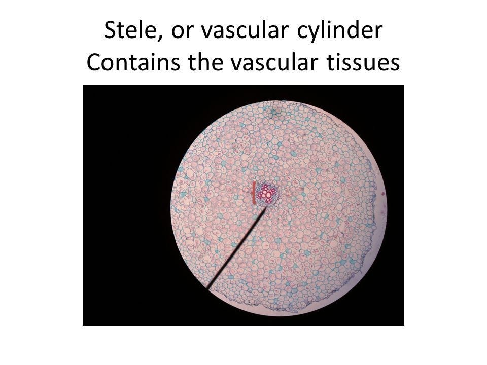 Stele, or vascular cylinder Contains the vascular tissues