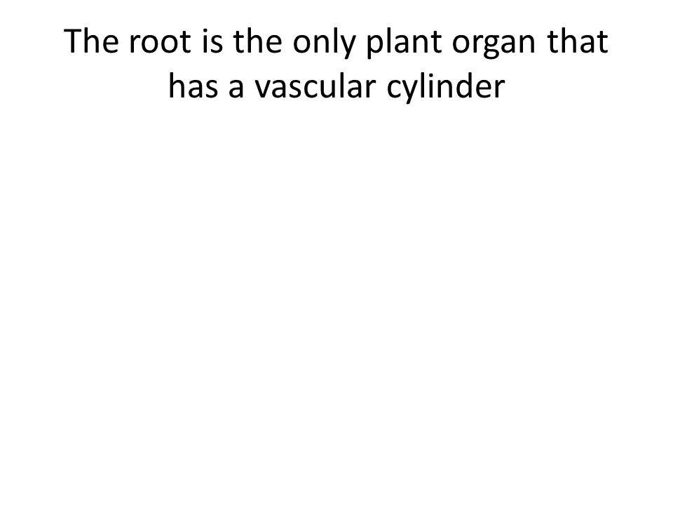 The root is the only plant organ that has a vascular cylinder