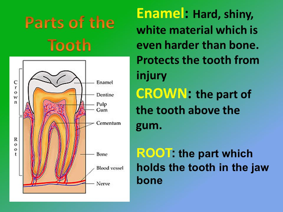 CROWN: the part of the tooth above the gum.