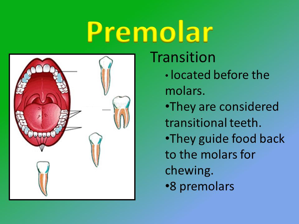 Transition located before the molars. They are considered transitional teeth.