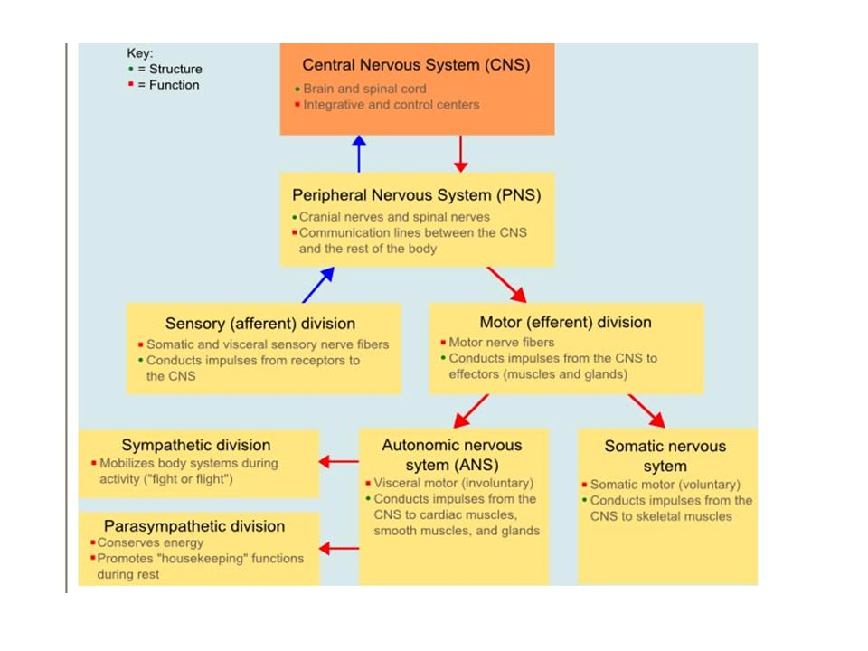 Autonomic Nervous System ANS Honors Anatomy & Physiology for copying ...