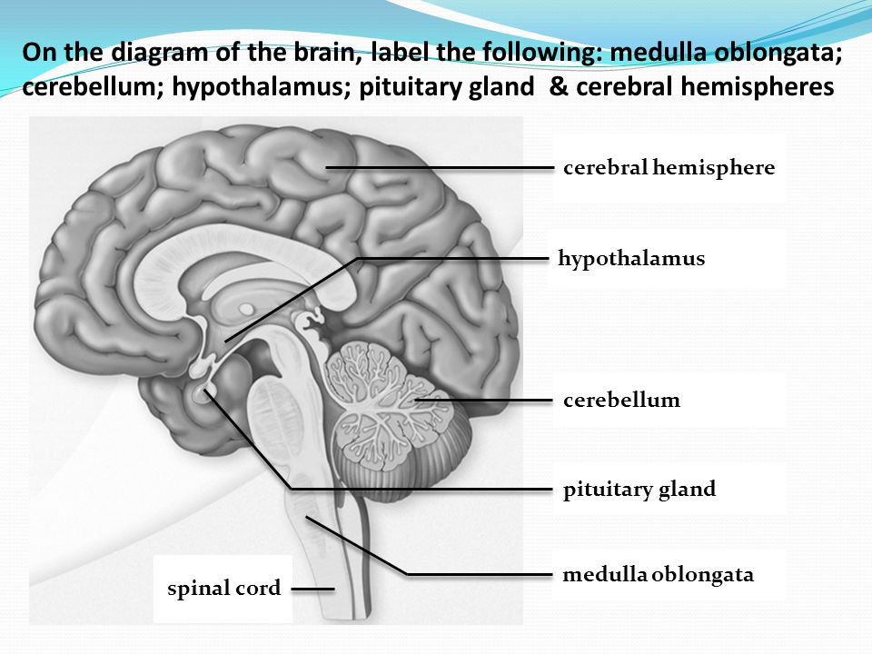 Assessment Statements E51 Label On A Diagram Of The Brain The