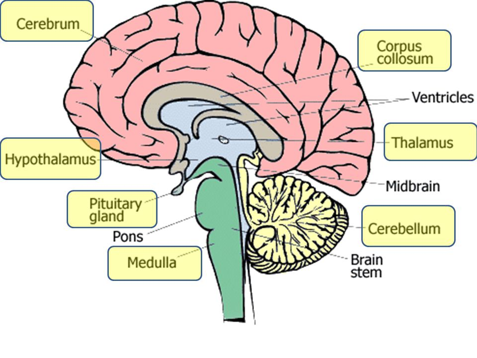 Chapter 17 The Brain Cns Central Nervous System Brain And