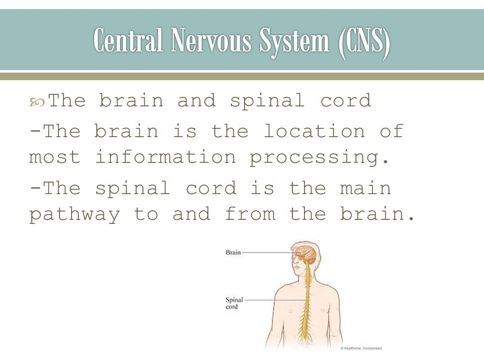  The brain and spinal cord -The brain is the location of most information processing.