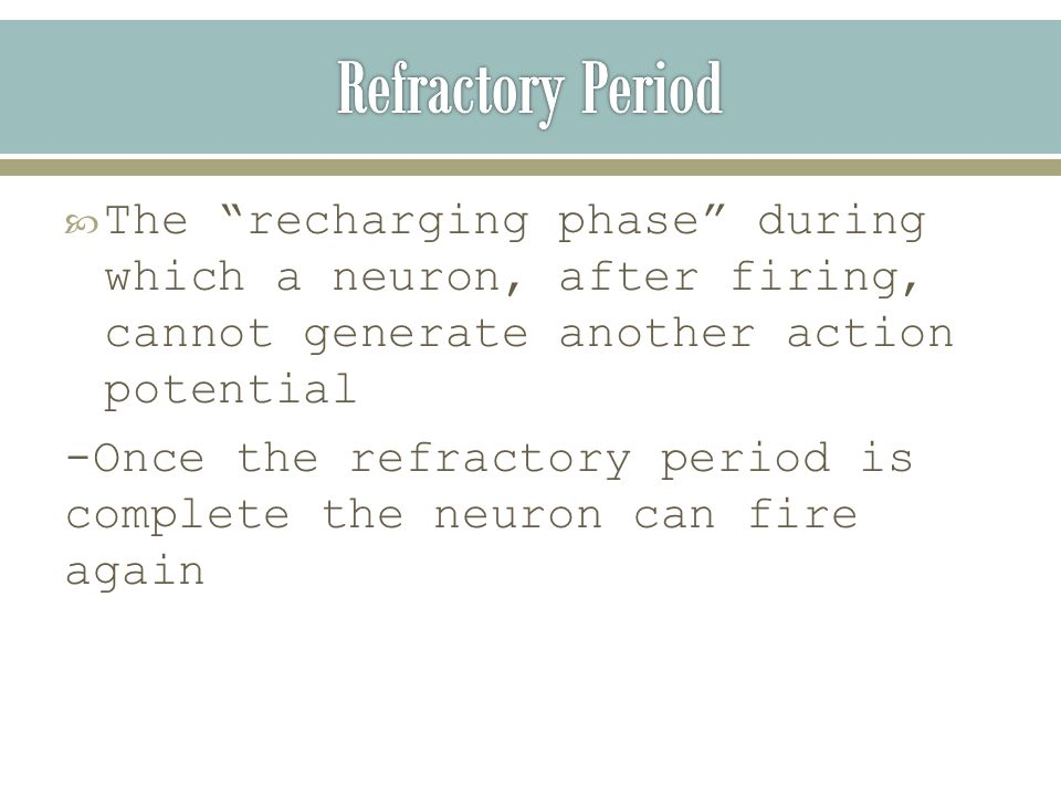  The recharging phase during which a neuron, after firing, cannot generate another action potential -Once the refractory period is complete the neuron can fire again