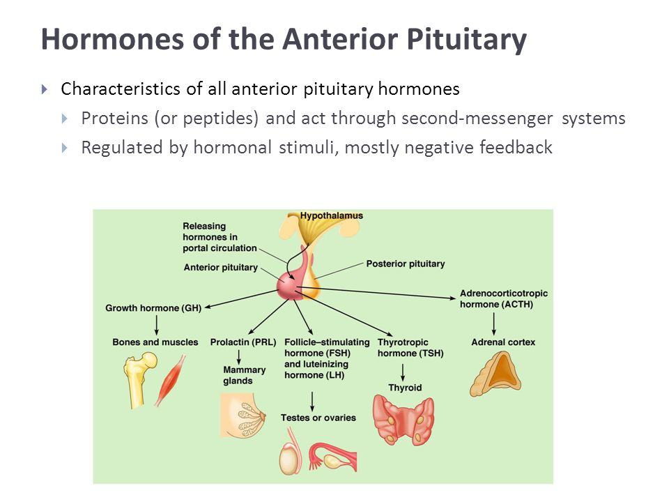 Hormones of the Anterior Pituitary  Characteristics of all anterior pituitary hormones  Proteins (or peptides) and act through second-messenger systems  Regulated by hormonal stimuli, mostly negative feedback