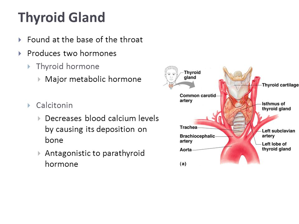 Thyroid Gland  Found at the base of the throat  Produces two hormones  Thyroid hormone  Major metabolic hormone  Calcitonin  Decreases blood calcium levels by causing its deposition on bone  Antagonistic to parathyroid hormone