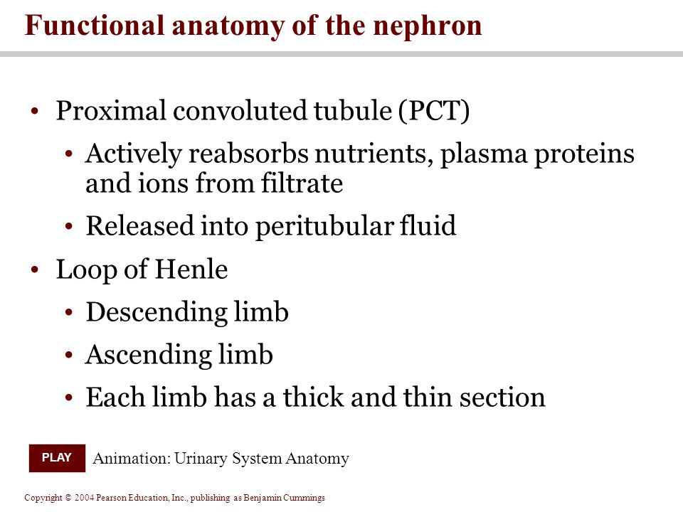 Copyright © 2004 Pearson Education, Inc., publishing as Benjamin Cummings Proximal convoluted tubule (PCT) Actively reabsorbs nutrients, plasma proteins and ions from filtrate Released into peritubular fluid Loop of Henle Descending limb Ascending limb Each limb has a thick and thin section Functional anatomy of the nephron Animation: Urinary System Anatomy PLAY