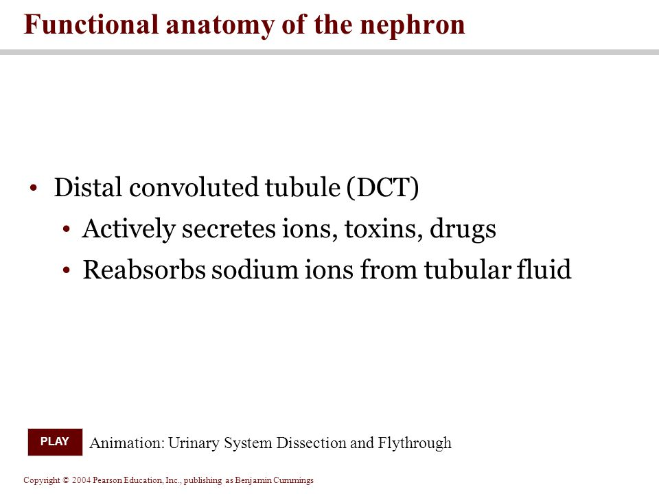Copyright © 2004 Pearson Education, Inc., publishing as Benjamin Cummings Distal convoluted tubule (DCT) Actively secretes ions, toxins, drugs Reabsorbs sodium ions from tubular fluid Functional anatomy of the nephron Animation: Urinary System Dissection and Flythrough PLAY