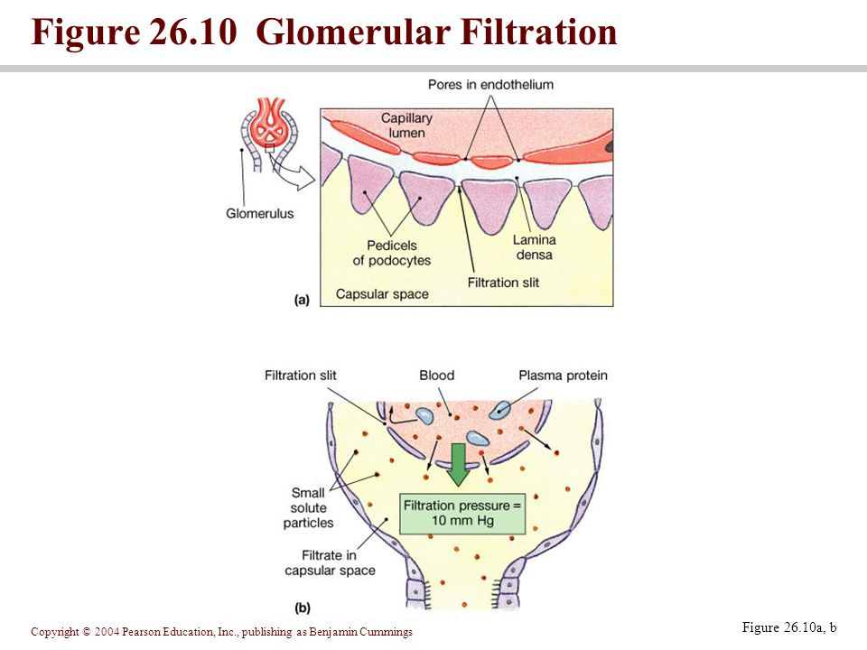 Copyright © 2004 Pearson Education, Inc., publishing as Benjamin Cummings Figure Glomerular Filtration Figure 26.10a, b