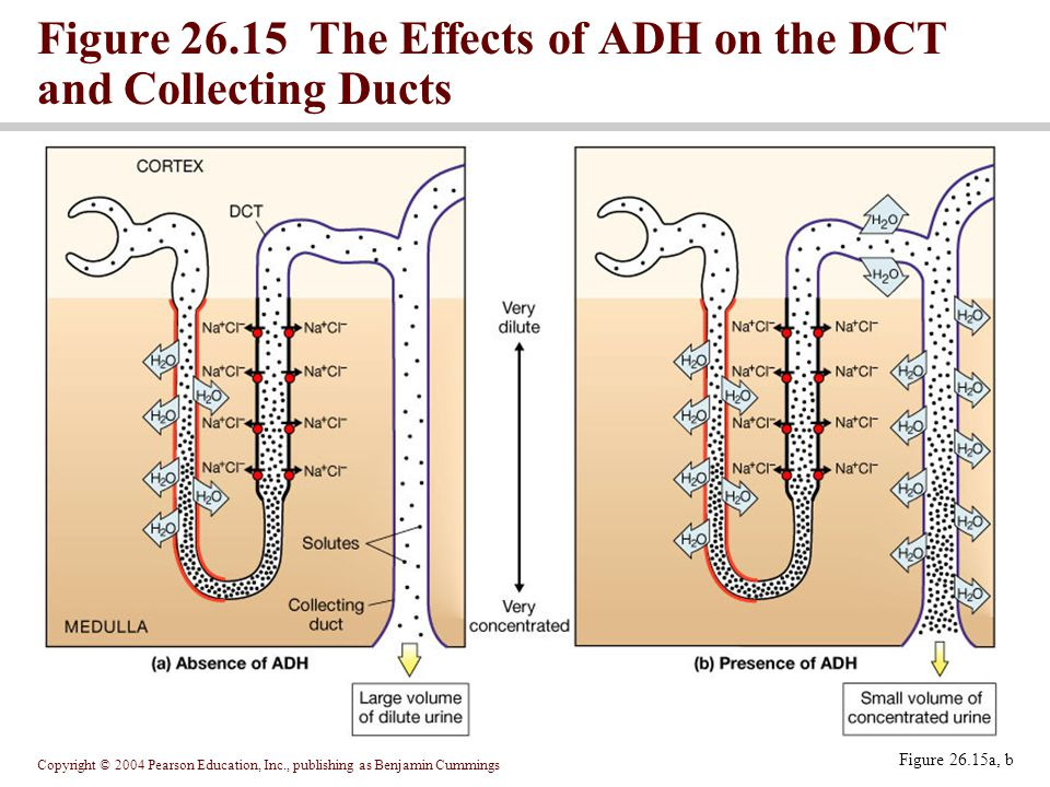 Copyright © 2004 Pearson Education, Inc., publishing as Benjamin Cummings Figure 26.15a, b Figure The Effects of ADH on the DCT and Collecting Ducts