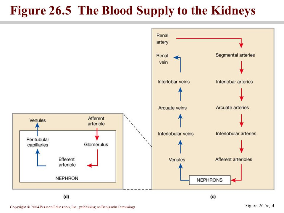 Copyright © 2004 Pearson Education, Inc., publishing as Benjamin Cummings Figure 26.5 The Blood Supply to the Kidneys Figure 26.5c, d