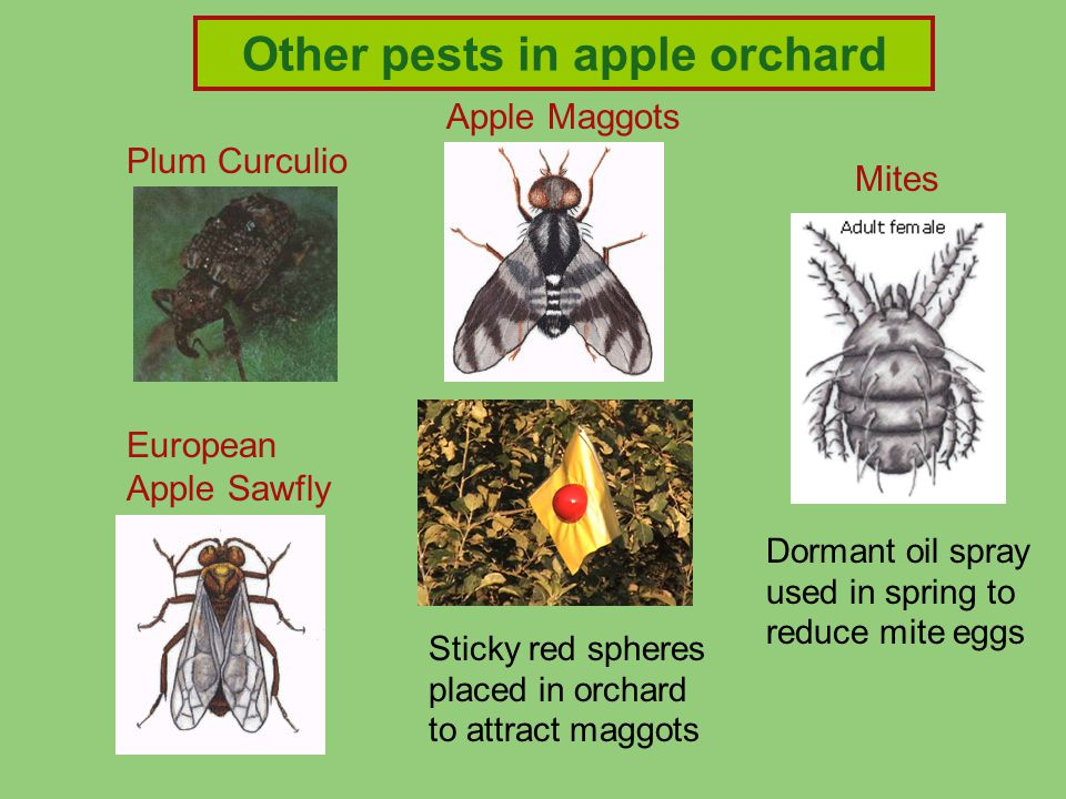 Apple Maggots Plum Curculio Mites Dormant oil spray used in spring to reduce mite eggs Other pests in apple orchard European Apple Sawfly Sticky red spheres placed in orchard to attract maggots