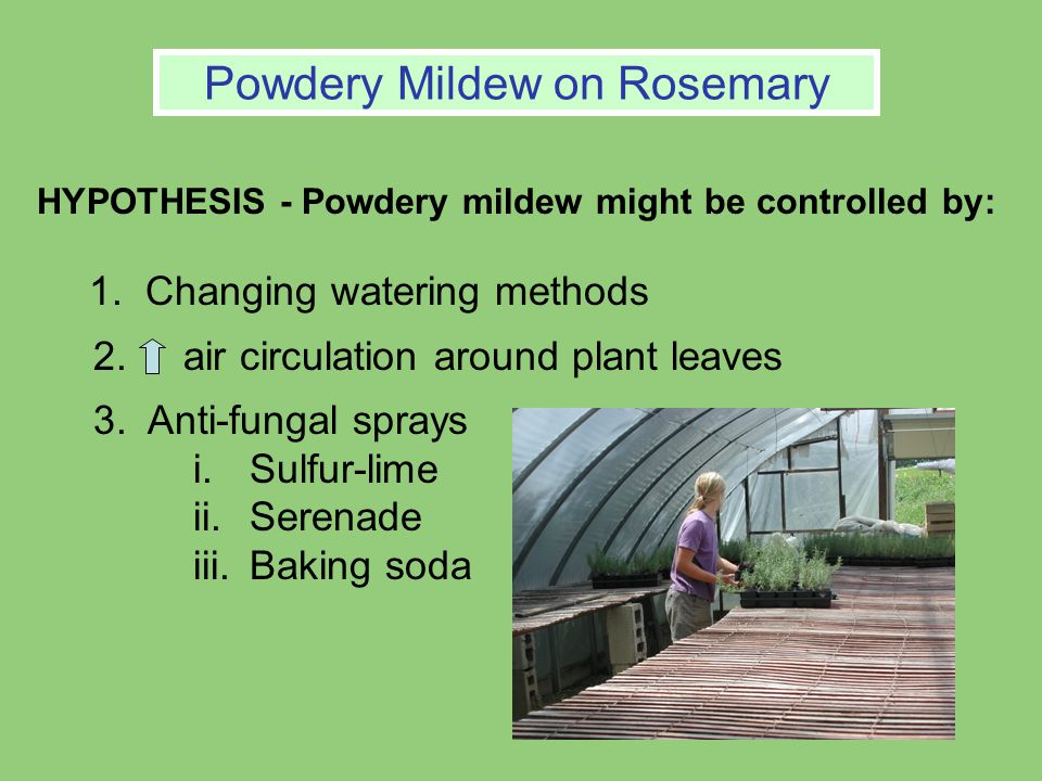 HYPOTHESIS - Powdery mildew might be controlled by: 1.Changing watering methods 2.