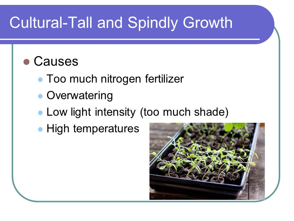 Cultural-Tall and Spindly Growth Causes Too much nitrogen fertilizer Overwatering Low light intensity (too much shade) High temperatures