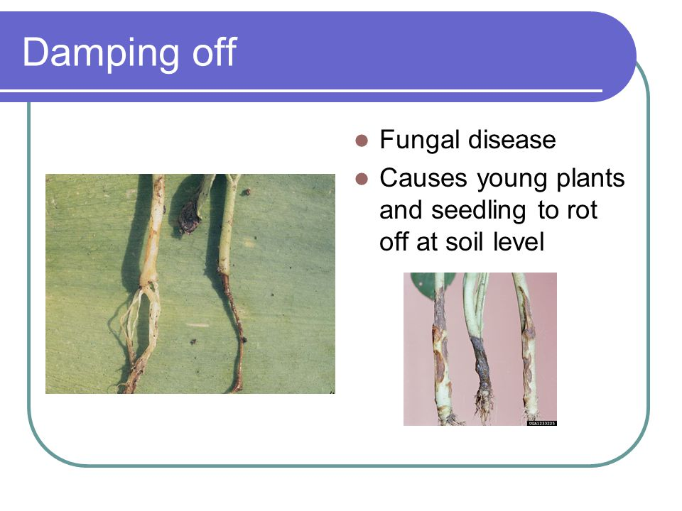 Damping off Fungal disease Causes young plants and seedling to rot off at soil level
