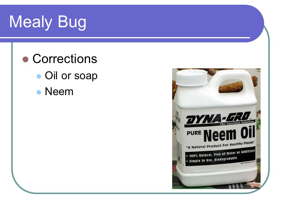Mealy Bug Corrections Oil or soap Neem