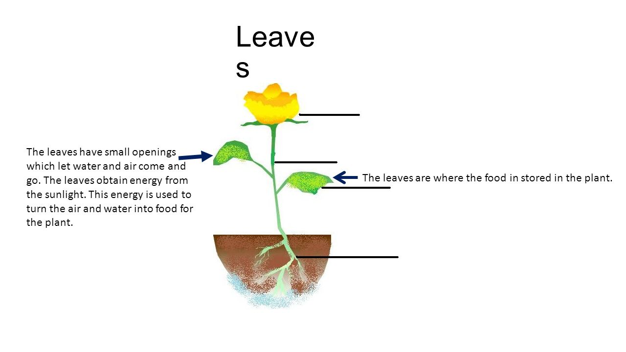 The leaves are where the food in stored in the plant.