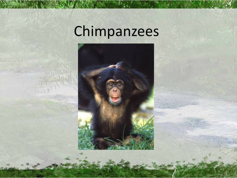 Chimpanzees. Overview Anatomy Habitat Diet Relationships and ...