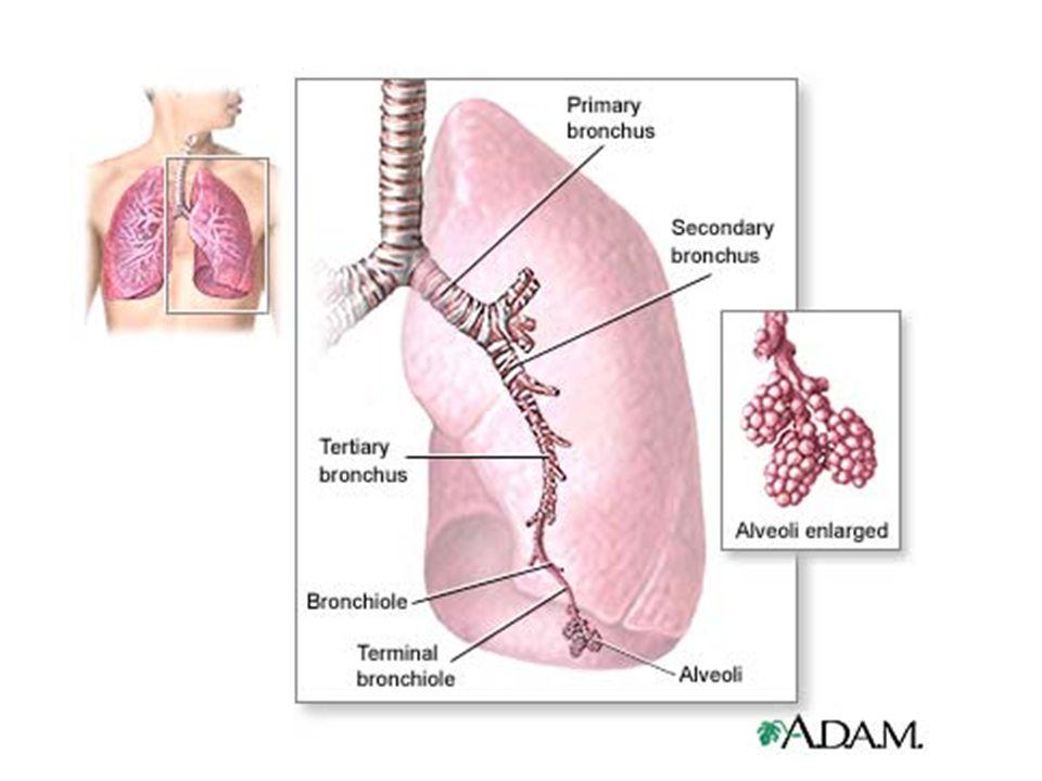 Airways And Lungs Sanjaya Adikari Department Of Anatomy Ppt Download