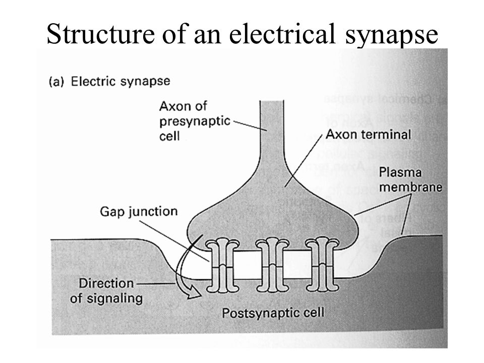 Structure of an electrical synapse
