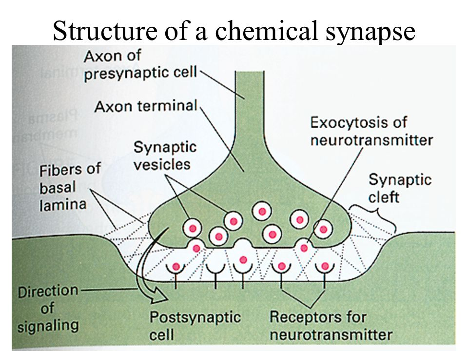 Structure of a chemical synapse