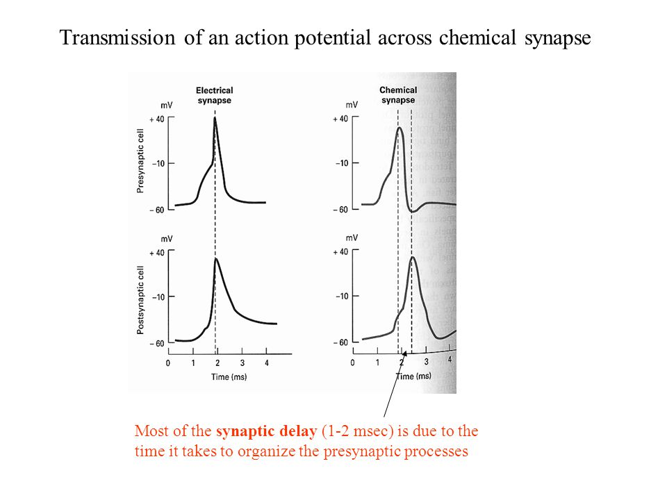 Transmission of an action potential across chemical synapse Most of the synaptic delay (1-2 msec) is due to the time it takes to organize the presynaptic processes
