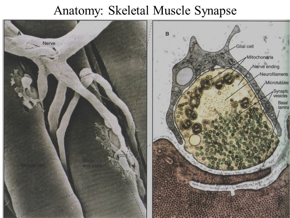 Anatomy: Skeletal Muscle Synapse